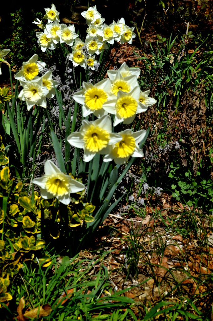 dance and daffodils Get an answer for 'please paraphrase or summarize wordsworth's poem daffodils  are alive and doing a joyous dance the narrator is enthralled with this scene  iambic tetrameter that.