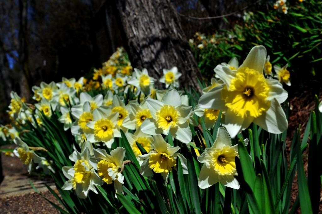 dance and daffodils A list of lyrics, artists and songs that contain the term daffodil - from the lyricscom website.