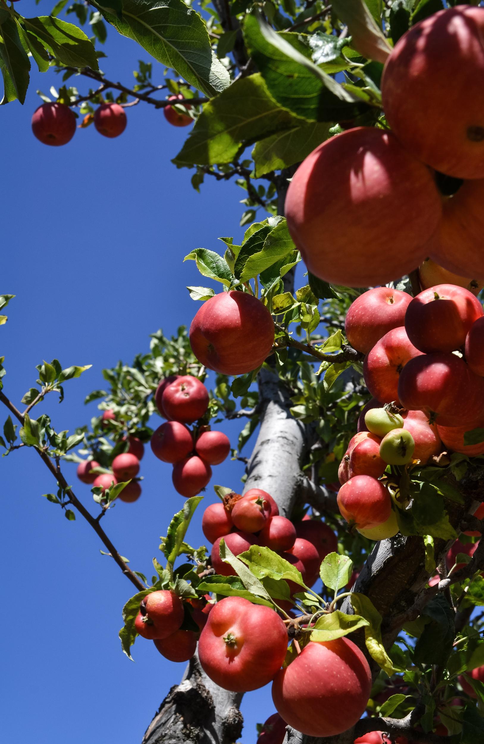Apple Picking Days Julian California